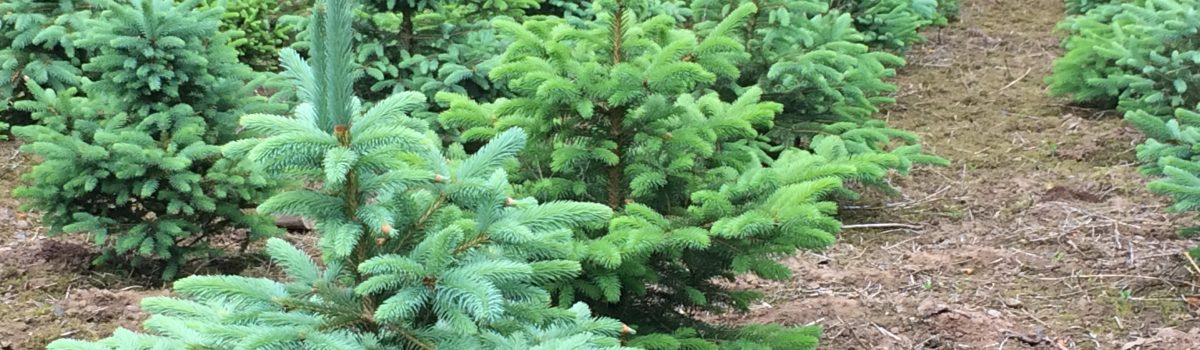 Christmas Trees/Prices - Pinewood Christmas Trees